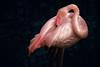 Pink beauty (el vuelo del escorpión) Tags: nature flamingo bird pink mallorca baleares balearicislands