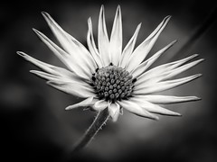Osteospermum ecklonis (D@rkne§§260) Tags: osteospermum ecklonis macro stacking proxyphoto flower fleur plante nikon40mmmicro nikond750 nikon