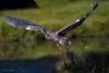 Landing Gear Up! (barnmandb65) Tags: great blue heron feet splash takeoff quarter front view closeup morning light flight cedarrapids iowa ellispark