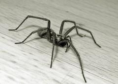 Spider 1 (Lostash) Tags: nature life spiders arachnids housespider blackwhite macro