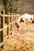 Fafard Farm (brendon_curtis) Tags: canon 5dmkiii eos 5d mkiii sigma art 135mm f18 wide open bokeh bokehlicious nature horse equestrian
