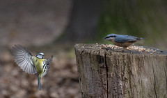 . .  don't try it again ! (hardy-gjK) Tags: vögel birds oiseaux nuthatch kleiber blue tit blaumeise natur wildlife motion snapshot schnappschuss hardy nikon forest wald baum tree arbre