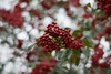 Blurry (Georgi Tinkov) Tags: bokeh tree colours red streetphotography nature 50mm 赤い