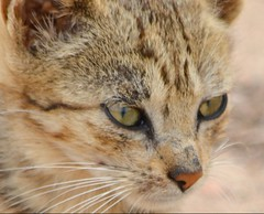 LITTLE KITTEN, A STRAY OF COURSE AND DOOMED TO SUFFER STARVATION.  SPOILS MY TRAVELLING.      GOREE ISLAND,   SENEGAL,  AFRICA (vermillion$baby) Tags: goreeisland animal cat kitten portrait senagal stray senegal africa dakar westafrica kitty eye