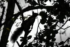 Écureuil en contre-jour (caffin.jacques3) Tags: écureuil squirrel against light contrejour extèrieur outside arbre tree chêne oak animal ciel