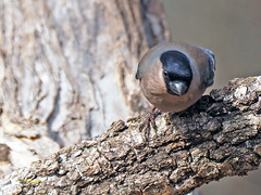 Camachuelo común (Pyrrhula pyrrhula) (26) (eb3alfmiguel) Tags: aves pájaros fringillidae passeriformes camachuelo común pyrrhula