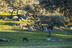 Sierra de Andujar - Andalusia - Spain (wietsej) Tags: sierra de andujar andalusia spain sony rx10iv rx10m4 animal deer nature