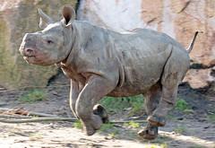 Black Rhino Mara Blijdorp BB2A3353 (j.a.kok) Tags: rhino rhinoceros zwarteneushoorn neushoorn blackrhinoceros blackrhino africa afrika animal blijdorp herbivore babyneushoorn baviaan babyrhino mara mammal zoogdier dier