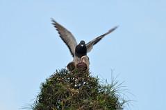 Winging it (Roving I) Tags: pigeons balance birds mating reproduction wildlife wings trees danang vietnam