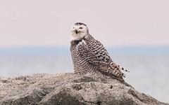 Snowy Owl  (Bubo scandiacus) (Gavin Edmondstone) Tags: buboscandiacus snowyowl bronteharbour oakville ontario