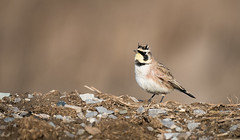 Horned Lark - Lifer! (rmikulec) Tags: bird horned lark small winter migration birding wild wildlife nature ornithology