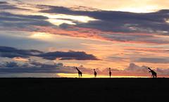 Sunset in the Masaï Mara - Kenya (lotusblancphotography) Tags: africa afrique kenya nature landscape sunset sky clouds crépuscule nuages ciel giraffes girafes animal wildlife