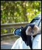 Monkey Wants Junk Food (Indianature st2i) Tags: westernghats valparai indianature india tamilnadu tea teaestate anamalais anamallais anamalaitigerreserve nature mountains ltm macacasilenus monkeygangvalparai monkey liontailedmonkey liontailedmacaque liontailedmonkeyinthewild wildlife wildlifewithpeople wildlifehabitat 2018 january february roadkill roadkills wildliferoadkill endangeredwildlifeofvalparai roadkillsinvalparai westernghatswildliferoadkills