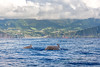 Whales in Azores (sfabisuk) Tags: whale whales azores azore portugal sao miguel