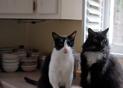 Idaho and Batman (rootcrop54) Tags: idaho tuxedo male cat cats batman goofy pals buddies neko macska kedi 猫 kočka kissa γάτα köttur kucing gatto 고양이 kaķis katė katt katze katzen kot кошка mačka gatos maček kitteh chat ネコ