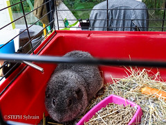 Animal Expo 2017-107 (Flashouilleur Fou) Tags: animal expo expositions exposition animalexpo 2017 paon chien chat cat dog puppet pet oiseau poisson crevette rat souris mouse rescue association dogue persan meicoon chartreux dalmatien caméléon lésard lizard pogona reptiles amphibien mamifere paris îledefrance france fr