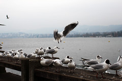 Hovering down (Katrinitsa) Tags: zurich2018 zurich swimming switzerland lake lakeview river riverside bird birds seagull gulls wings flying hovering hover sitting resting bay side beauty beautiful awesome amazing dream dreamer colors winter wintercolors water waterscape white gray morning snow fog cold travelphotography travel art artistic bokeh canon ef35mmf14lusm canoneos600d detail focus calm inspiration imagination relax