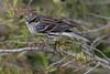 glancing yellow-rumped warbler (robertskirk1) Tags: nature outdoor wildlife bird yellowrumped warbler rich grissom memorial wetlands viera florida fl