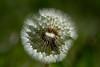 end of life (alain01789) Tags: pissenlit dandelion flower bokeh velvia nature plant