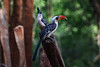 Jackson's hornbill (Tockus jacksoni) couple (supersky77) Tags: jacksons hornbill tockusjacksoni couple in kerio floor rift valley kenya