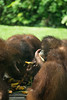 Orangutan feeding time (Xnalanx) Tags: activity ape asia borneo eating malaysia mammals orangutan places sandakan sepilokorangutanrehabilitationcentre wildlife