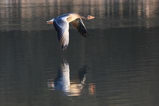 Greylag goose at Warnham Nature Reserve