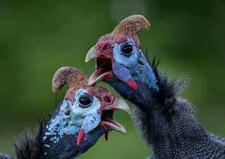 Two posturing Helmeted Guineafowl (Numida meleagris) strike a pose (Vogue).