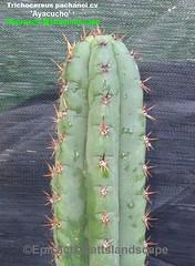 Trichocereus pachanoi Cv.'Ayacucho' (Pic #2 stem growth example) (mattslandscape) Tags: trichocereus pachanoi cv ayacucho hybrid peru echinopsis