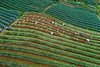 Farmers working in Onion Field_aerial_DJI_0030 (PRADEEP RAJA K- https://www.pradeeprajaphotos.com/) Tags: green travel nature argapura majalengka indonesia plantation landscape farm plant pattern asia field java natural agriculture food beautiful terrace background view onion hill outdoor leaf fresh asian farmland westjava vacation onionfield farming organic summer shallot farmer terraced holiday garden valley west mountain vegetable harvest house terasering traditional tree jawabarat onionfarmer onions growth scenic destination ground mountains slope indonesian trip wonderfulindonesia destinationindonesian wisataargapura flickrtravelaward