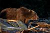 Buskin Boar (wyrickodiak_9) Tags: kodiak alaska brown bear grizzly boar island beach mammal wildlife apex