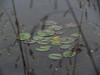 Lilly Pads (brandonkitchen) Tags: lillypads cats hollywood california church cross beach ocean sand mannequins dolls mannequinhead pond lake water
