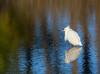 2018-01-15 P1000403 Snowy Egret (Tara Tanaka Digiscoped Photography) Tags: bird stmarksnwr water blue reflections
