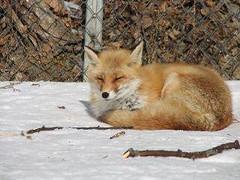 #fox https://t.co/gJRXrZxvZ3 (hellfireassault) Tags: foxes fox httpstcogjrxrzxvz3 q foxlovebot january 21 2018 1000pm