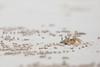 Painted Ghost Crab (derek.simeone) Tags: galápagosislands ecuador islasgalápagos canon wildlife crab beach sand nature galapagos southamerica crustacean ghostcrab paintedghostcrab