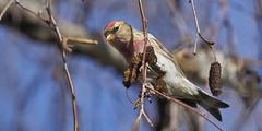 Pardillo alpino (coverkill) Tags: aves naturaleza navarra