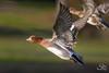Eurasian Wigeon (Selkii's Photos) Tags: anaspenelope birds california contracostacounty duck ebrpd eastbayregionalpark eurasianwigeon flight millerknoxregionalpark richmond