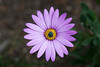 Osteospermum jucundum 'Langtrees' (Alan Buckingham) Tags: africandaisy flower osteospermumlangtrees osteospermumjucundumlangtrees perennial pink purple savillgarden