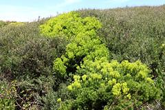 Broom heath (pale green) (Poytr) Tags: narrabeen treebroomheath broomheath myrtaceae monotoca monotocaelliptica leptospermum leptospermumlaevigatum sanddune duneplant ericaceae plant coastalteatree green landscape sydney nsw australia sky