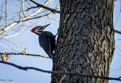 Pileated Woodpecker (Ricky L. Jones Photography) Tags: canon teamcanon canonfavpic canonfanpic birdwatching birdphotography bird birds birding nature naturephotography wildlife wildlifephotography devilslake woody woodpecker wisconsin midwest woods winter