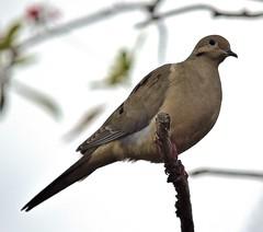 Dove On A Stick (ACEZandEIGHTZ) Tags: nikon d3200 dove branch mourning bokeh sky backyard birdwatcher white background macroura zenaida closeup perched coth alittlebeauty coth5