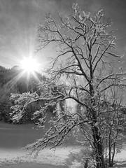 Fonte (haijee13) Tags: trees tree arbres top treetop snow cîme cîmes arbre randonnée rando neige fonte hautesavoie haute savoie la clusaz confins lac france french alpes alps