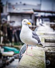 my seagull friend (FedeSK8) Tags: seagull fedesk8 federicoscotto nikon fedescotto gabbiano