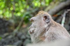 ... contemplative ... (wolli s) Tags: bali monkey monkeyforrest ubud indonesien id nikon d7100