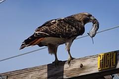 Red-tailed Hawk--Buteo jamaicensis (Polioptila caerulea) Tags: redtailedhawk hawk birdofprey buteojamaicensis buteo loyalton sierracounty california rtha
