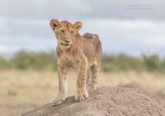 Lion Cub - Panthera leo (rosebudl1959) Tags: 2017 kenya masaimara zebraplains lion cub