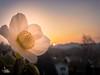a bit spring (Ukelens) Tags: ukelens schweiz suisse svizzera swiss switzerland unterzollikofen bern sun sunbeam sunstream sunset sunlight sonne sonnenschein sonnenstrahl sonnenuntergang sonnenstrahlen lightroom light lights licht lighteffects lichter lighteffect lichteffekt lichteffekte flowers blume abend nature natur