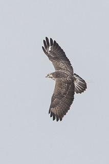 buzzard buteo buizerd in flight