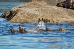 Playful sea lions (grahamvphoto) Tags: vancouverisland britishcolumbia vi bc canada travel water sealion animal nature rocks