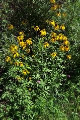 Rudbeckia laciniata, Rd. 63, no. of Pecos, San Miguel Co., NM (RonParsonsflowershots) Tags: nm noofpecos rd63 rudbeckialaciniata sanmiguelco