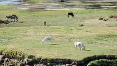 Egyptian donkeys (poprostuflaga) Tags: egypt aegyptus aígyptos river rzeka nile nil